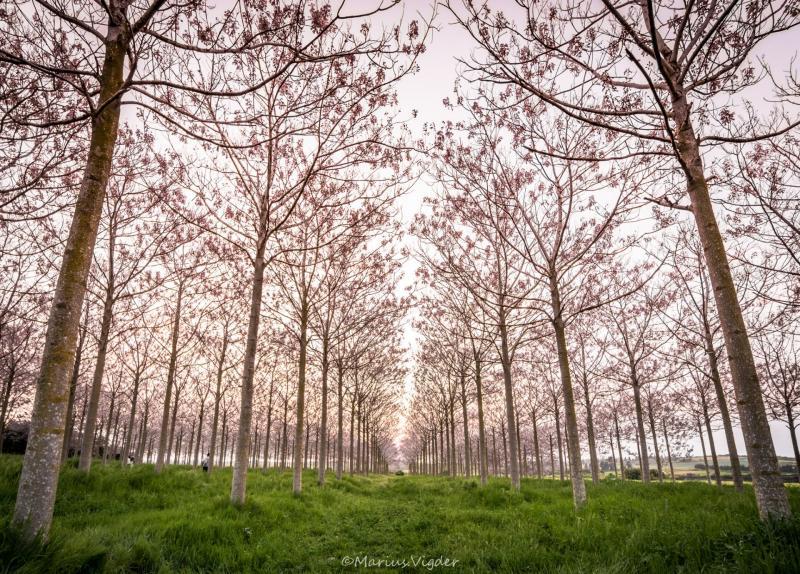 שדרת העצים