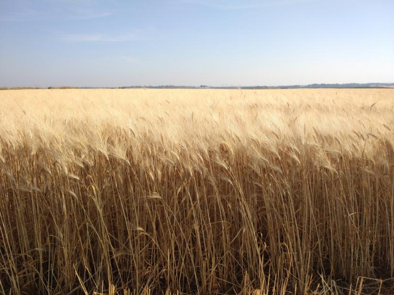 שדה חיטה ליד חולדה