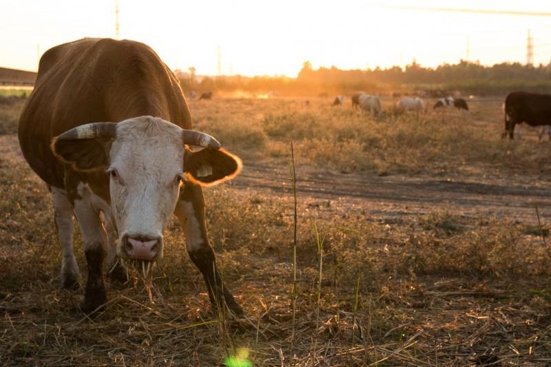 מרעה פרות