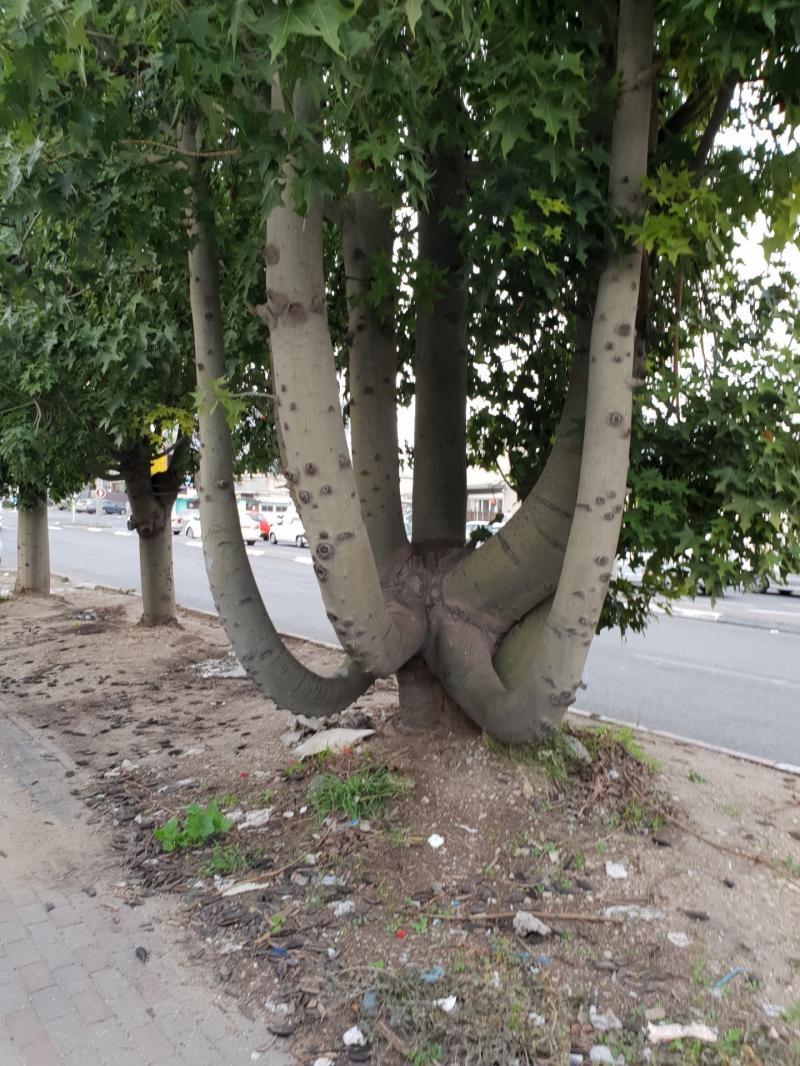 עץ בעל 7 גזעים ומקום ישיבה במרכזו