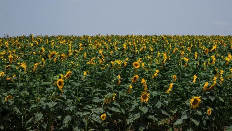 שדה חמניות, חולדה
