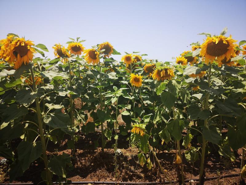 שדה חמניות