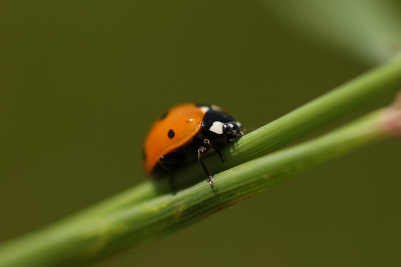 חיפושית מושית