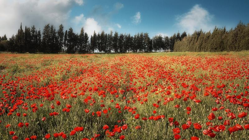 שדה פרגים ליד קיבוץ דליה
