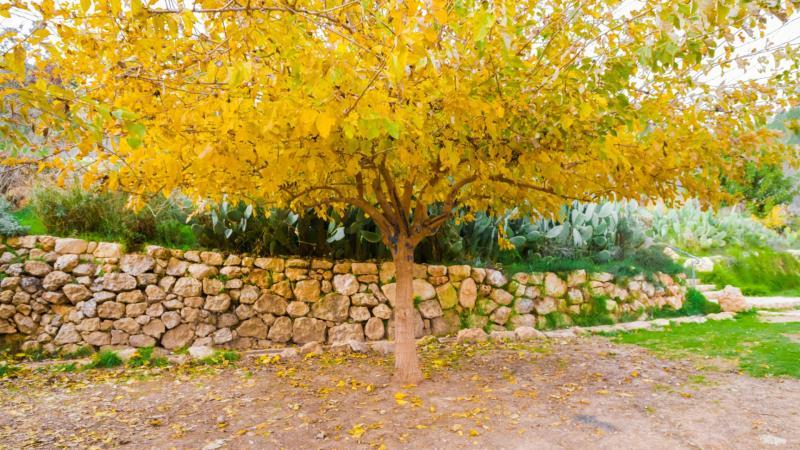 עץ צהוב בעין לבן