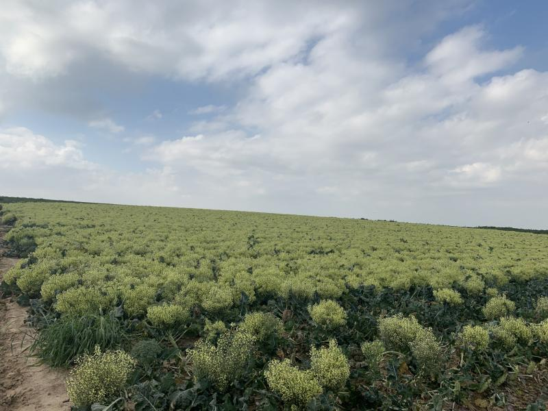 שדה ברוקולי בתרונות רוחמה