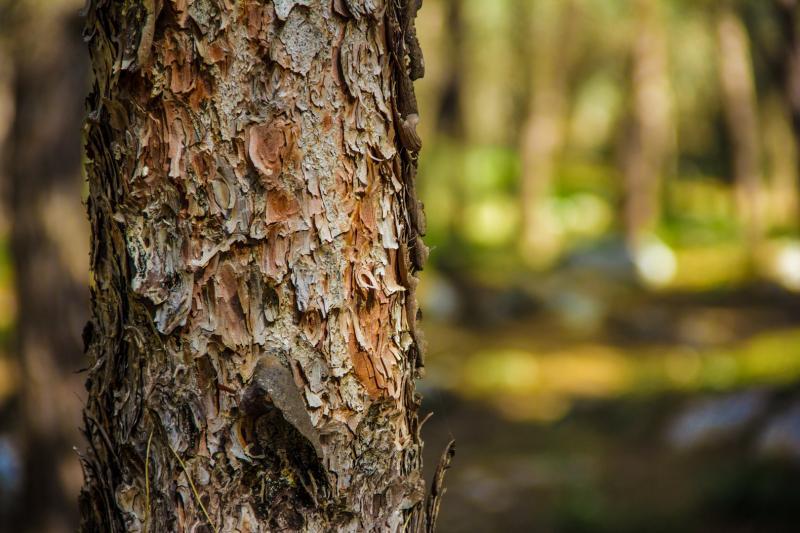 גזע עץ בקירוב