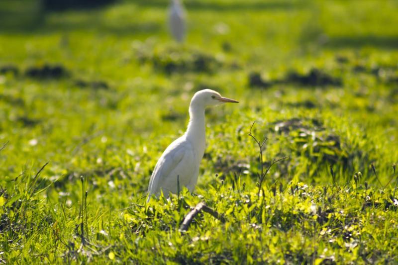 אווז בדשא
